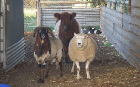 Bonnibelt Belted Galloway Stud, calf, sheep and pet goat